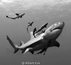 Lemon shark and remora's. by Albert Kok 